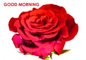 Red Rose Good Morning Images  Pictures HD Download for Wife