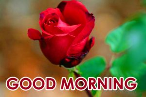 Red Rose Good Morning Images  Pics Pictures For Love Couple