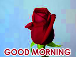 Red Rose Good Morning Images  Photo Pics HD