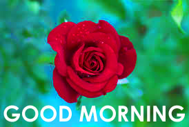 Red Rose Good Morning Images Pictures HD Download