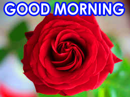 Red Rose Good Morning Images HD Pics Download