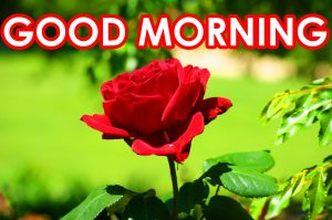 Red Rose Good Morning Images Photo HD Download