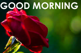 Red Rose Good Morning Images Wallpaper Pics Download