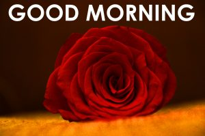 Red Rose Good Morning Images Pictures Free HD Download