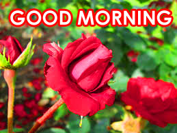 Red Rose Good Morning Images Photo Pics Download
