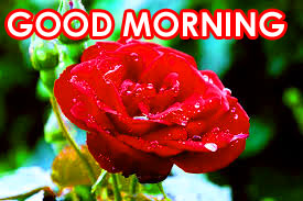 Red Rose Good Morning Images Photo Download In HD