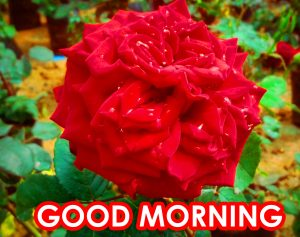Red Rose Good Morning Images Photo Download