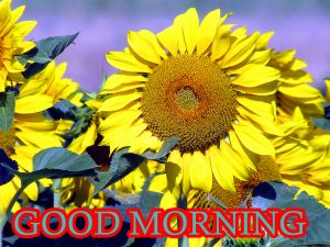 Sunflower Good Morning Images Photo Download