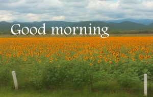 Sunflower Good Morning Images Pictures Free Download