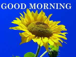 Sunflower Good Morning Images Wallpaper Download