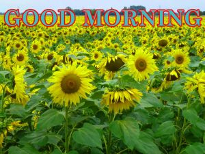 Sunflower Good Morning Images Pics HD Downlaod