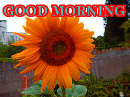 Sunflower Good Morning Images Pictures Download