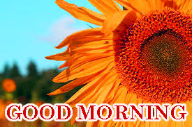 Sunflower Good Morning Images Pics Photo Download