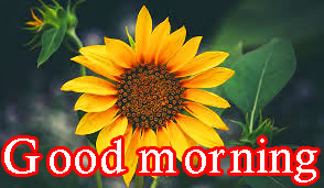 Sunflower Good Morning Images Photo Download In HD