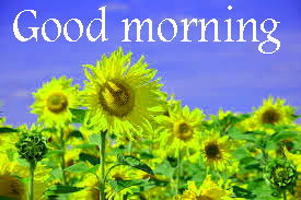 Sunflower Good Morning Images Wallpaper Pics Download