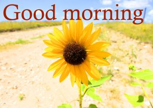 Sunflower Good Morning Images Photo Pics Download