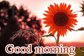 Sunflower Good Morning Images Photo Pics HD