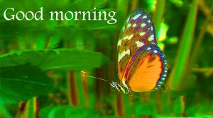 Butterfly Good Morning Wishes Images Photo HD Download