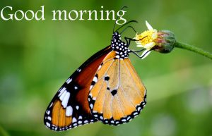 Butterfly Good Morning Wishes Images Wallpaper Download