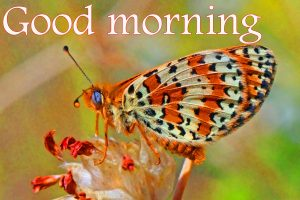 Butterfly Good Morning Wishes Images HD Pics Download