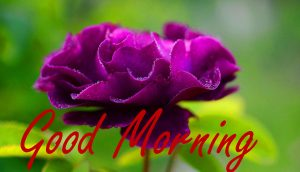 Gud / Gd mrng Morning Wishes Images Pics With Flower