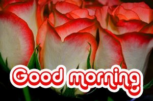 Nice Good Morning Images Wallpaper With Red Rose Download In HD